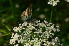 Schaduwen van gras op donkere vlindervleugels in het licht van zonlicht Stock Afbeelding
