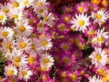 Schaduwen van Roze Mums-Bloemen stock foto's
