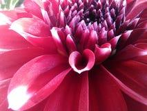 Schaduwrijke roze bloem Stock Afbeeldingen