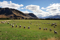Schaf-Bauernhof in Neuseeland Stockfotografie