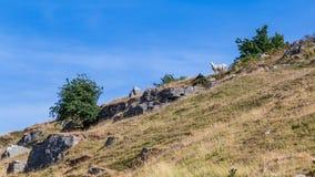 Schaf in Brecon erleuchtet Nationalpark in Wales, Großbritannien Lizenzfreies Stockbild