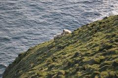 Schaf-Familie auf den Klippen von Vestmannaeyjar Lizenzfreies Stockfoto