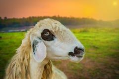 Schaf-Gesichts-Dämmerungs-Sonnenuntergang Brillen Schaf Stockfoto