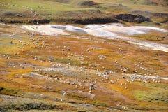 Schaf-Herde Stockbilder