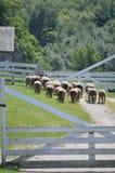 Schaf-Herde Lizenzfreies Stockfoto