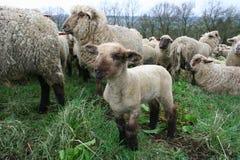 Schaf-Herde lizenzfreie stockfotografie