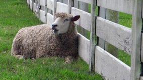 Schaf kaut sein Lebensmittel beim Stillstehen gegen einen weißen Bauernhofzaun stock video