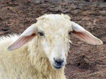 Schaf-Mündung Lizenzfreie Stockbilder