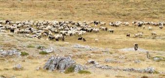 Schaf-Menge Lizenzfreies Stockfoto