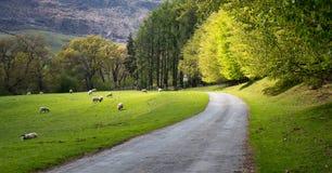 Schaf mit L?mmern auf einem gesch?tzten Gebiet, eine ruhige Stra?e kurvt durch sie stockbilder
