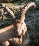 Schaf-RAM Porträtods Barbary stockbilder