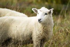 Schaf-Ranch-Bauernhofs- mit Viehhaltungtier, das inländisches Säugetier weiden lässt stockfotos