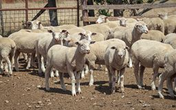 Schaf-Ranch - Neuseeland lizenzfreies stockfoto