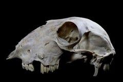 Schaf-Schädel auf schwarzem Hintergrund Stockfotografie
