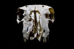 Schaf-Schädel auf schwarzem Hintergrund Lizenzfreies Stockfoto