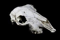 Schaf-Schädel auf schwarzem Hintergrund Stockfoto