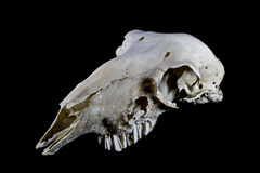 Schaf-Schädel auf schwarzem Hintergrund Stockbilder