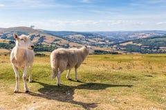 Schaf und Lamm in Brecon erleuchtet Nationalpark in Wales, Großbritannien Stockfotos