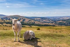 Schaf und Lamm in Brecon erleuchtet Nationalpark in Wales, Großbritannien Stockfotografie