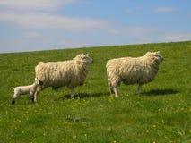 Schaf- und Lammaufpassen Lizenzfreie Stockbilder