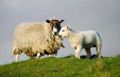 Schaf- und Ostern-Lamm Lizenzfreie Stockbilder