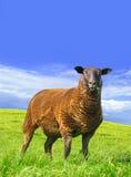 Schaf wird überrascht. Stockbild