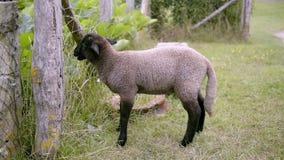 Schafe stock video