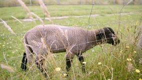 Schafe stock footage