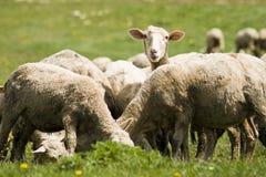 Schafe. Lizenzfreie Stockfotos