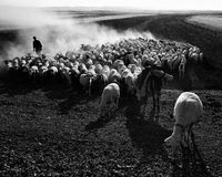 Schafe Stockfotos