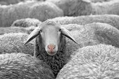 Schafe Stockfoto