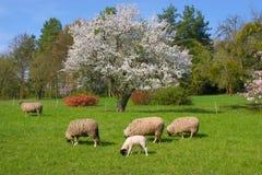 Schafe Stock Image