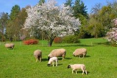 Schafe Fotografia Stock