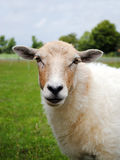 Schafe Lizenzfreies Stockbild