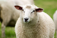 Schafe. Stockfotos