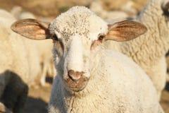 Schafe. Stockbilder
