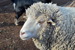 Schafe Lizenzfreie Stockfotografie
