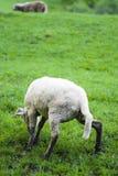Schafe lizenzfreie stockbilder