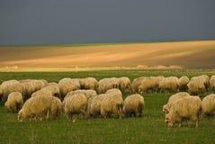 Schafe stockbild