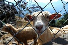 Schafe #2 Lizenzfreies Stockfoto