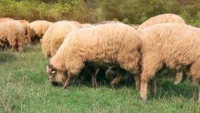 Schafe stock video footage