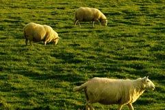 Schafe Lizenzfreie Stockfotos