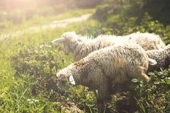 Schafe Lizenzfreies Stockfoto
