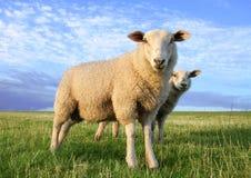 Schafe am Abend Stockfotos
