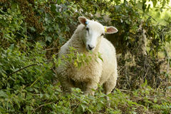 Schafe an Abteipark 03, Lacock Stockfotografie