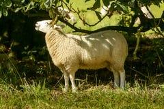 Schafe am Abteipark, Lacock Lizenzfreie Stockbilder