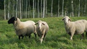 Schafe auf Abhang in der Sonnenuntergangstellung stock footage