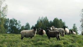 Schafe auf Abhang in der Sonnenuntergangstellung stock video footage