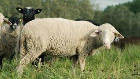 Schafe auf Abhang im stehenden und gehenden Sonnenuntergang stock video footage