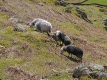 Schafe auf Abhang lizenzfreie stockfotografie